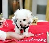 stunning and top quality teacup maltese puppies now available
