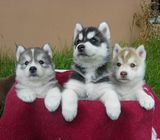 Gifts Siberian husky puppies