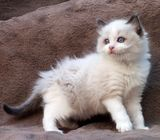 GCCF REGISTERED RAGDOLL KITTENS ARRIVED PETALING