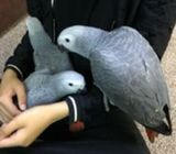 African Grey 2 girls and 2 boys available