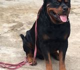 Full German Bloodline Rottweiler Puppy ready for good Home.