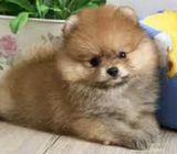 Mini bear look pomeranians