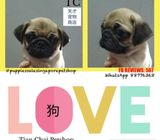 Fawn Pug Puppies Sale.Tian Chai Petshop HP 88776368.TOP 560 FB Review
