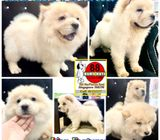 Chow Chow (Exclusive Cream) Call 81352277