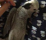 A Congo Grey parrot needs a new home.!!!!!