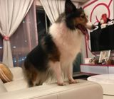 Female sheltie looking for mate