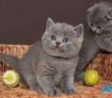 Pedigree British Short Hair  kittens