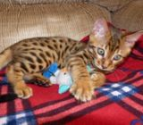 Home trained Bengal kittens ready for re-homing