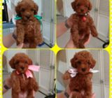 Kc Reg Red Toy Poodle Puppies Ready To Go Now FFDF