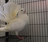 Beautiful Tame White Fantail Dove for sale