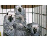 Amazing talking parrots