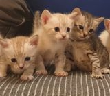 Norweigan Forest Bengal Kittens For Sale