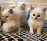 Purebred Ragdoll Kittens