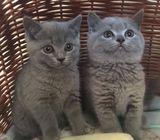 Gccf Blue British Shorthair Kittens Champion