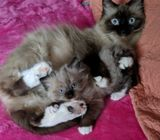 Chocolate mitted Ragdoll Kittens