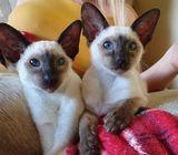 Beautiful Siamese Kittens Gccf Registered