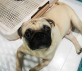 3yrs old male fawn pug for sale.