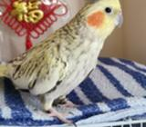 Pearl Cockatiel for adoption