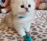Beautiful Chinchilla Persian Kittens