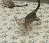 Two Beautiful Asian Kittens For Sale