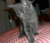Full Pedigree Gccf Registered Russian Blue Kittens