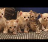Norweigan Forest Kittens -$500-800 each