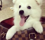 Japanese spitz puppy for good home only