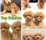Toy Poodle: Harrods Teddy (Purebreed) Puppies for Sale Call 81352277