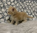 Maine Coon Kitten Pedigree