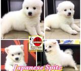 Japanese Spitz Puppies (Female Polar Bear) Call 813552277