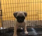 Puggy pug for Good home