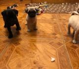 Super Cute Pug Puppies Ready Now