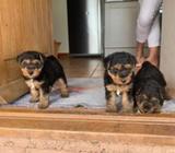 Beautiful Welsh Terrier Puppies