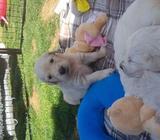 Kc Reg Golden Retrievers Puppies