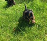 Stunning Litter Of Miniature Yorkshire Terrier Pup