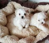 Super Cute Maltese Puppies Ready