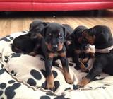 Stunning Doberman Pups