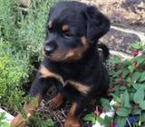Kc Registered Rottweilers Puppies