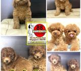 Toy Poodle (Harrods Teddy Bear Features) Call 81352277 now