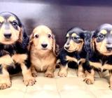 Mini Dachshund Puppies for Sale (Long Coat) Call 81352277 now