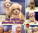Toy Poodle Puppies for Sale (Purebreed Harrods Teddy) Call 81352277 now