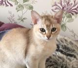 Gccf Reg Pedigree Asian Kittens