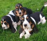 Stunning Basset Hound Puppies