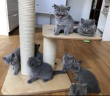 cute and healthy  British Shorthair kittens ready for a new home