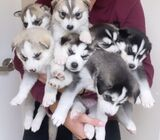 Male And Female Siberian husky Puppies, Pure Bred for adoption