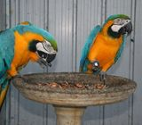 2 Gold and blue macaws for adoption