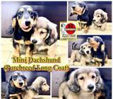Mini Dachshund (Long Coat Purebreed) Puppies for Sale Call 81352277