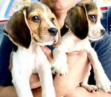 Beagle (Perfect Patching) Puppies for Sale Call 81352277 now