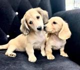 Dachshund (Rare Creme Color) Puppies for Sale Call 81352277 now
