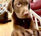 Labrador Retriever (Australia Imported) Puppies for Sale Call 81352277 now